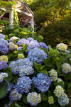 Endless Summer® The Original Hydrangea (Blue)