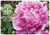 Gift Card - Pink Peony - Mailed to You
