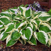 Patriot Hosta  # 1 Container