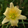 Never Ending™ Butter Cream Daylily