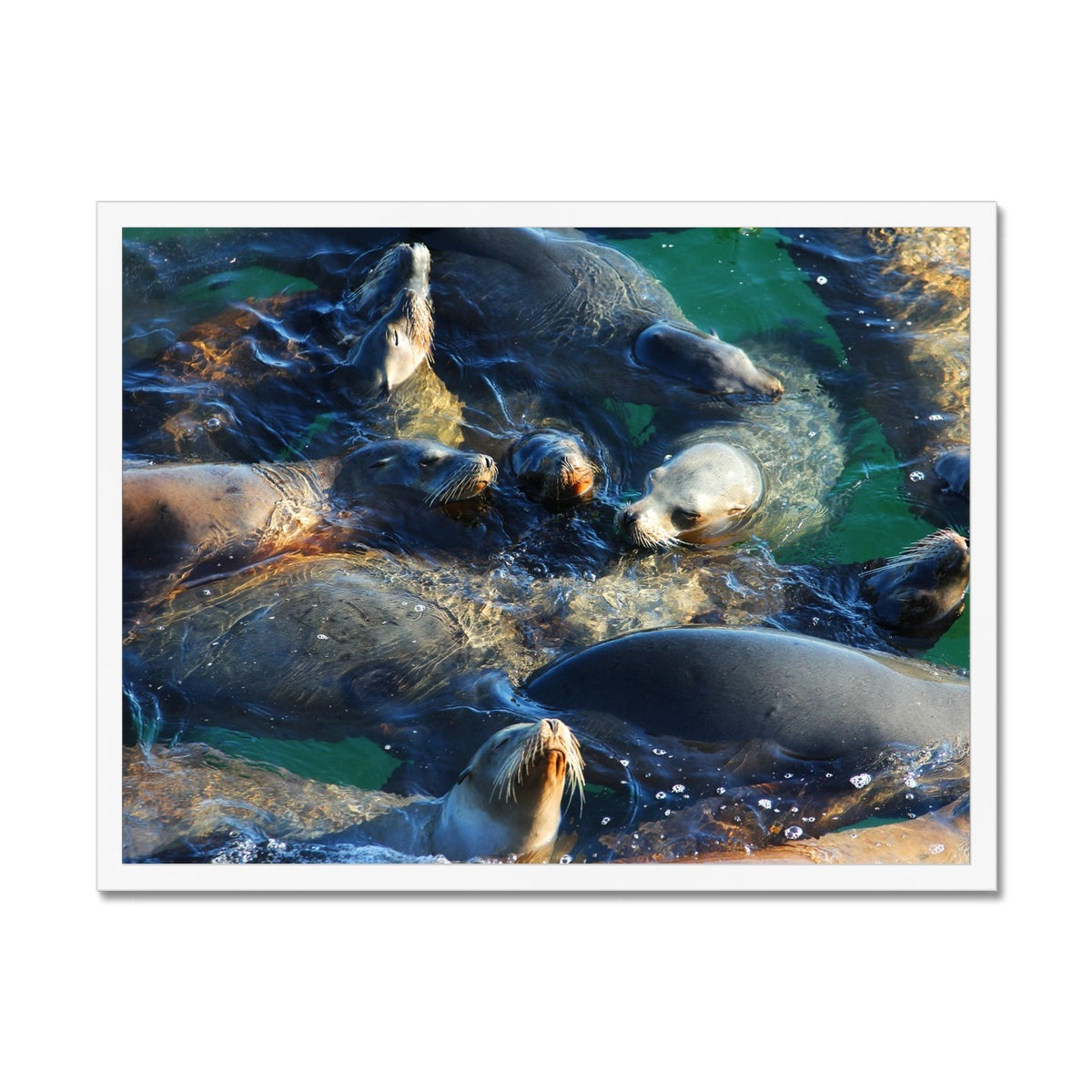 Seal Snuggles - California Framed Print