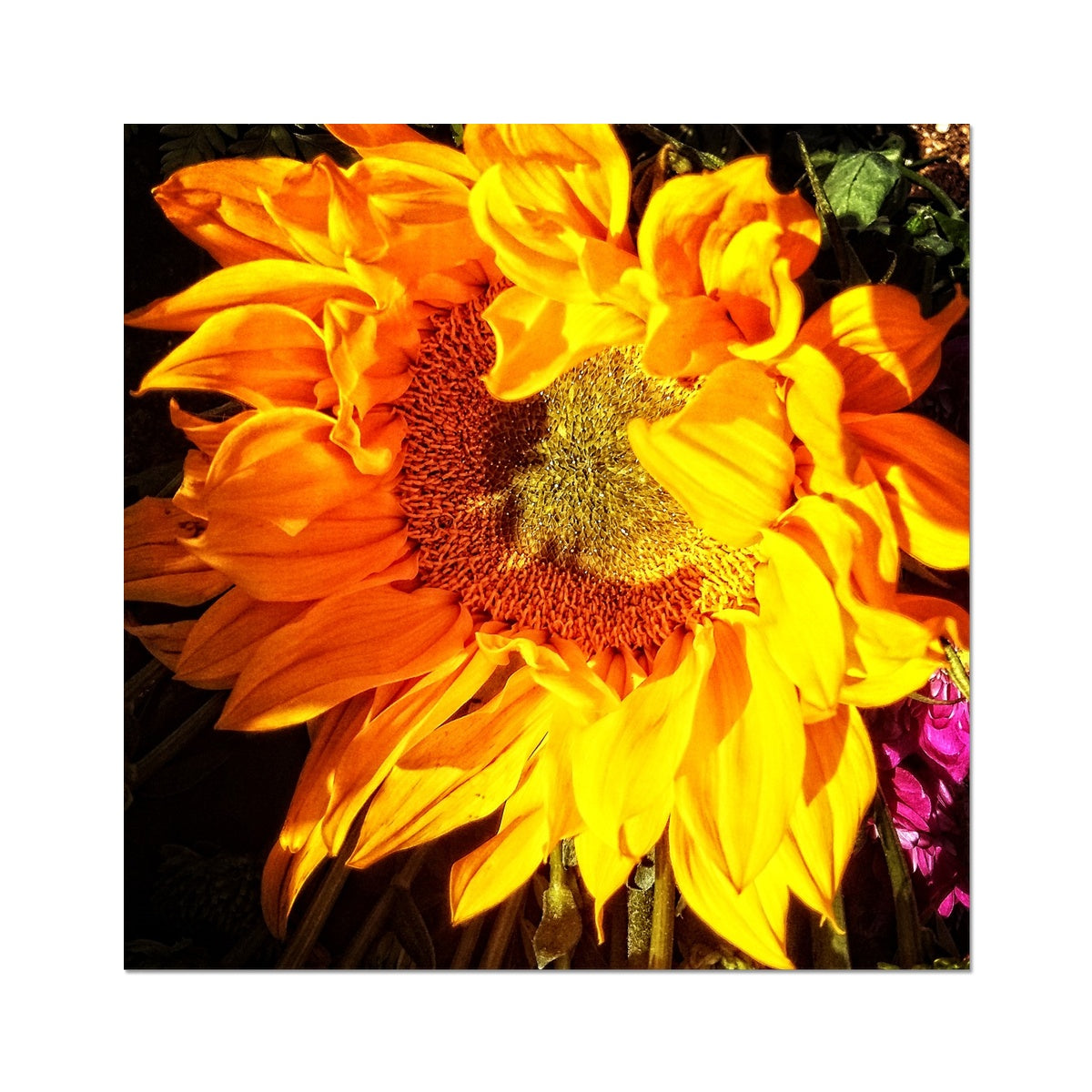 Sunflower Joy Shines Photo Art Print