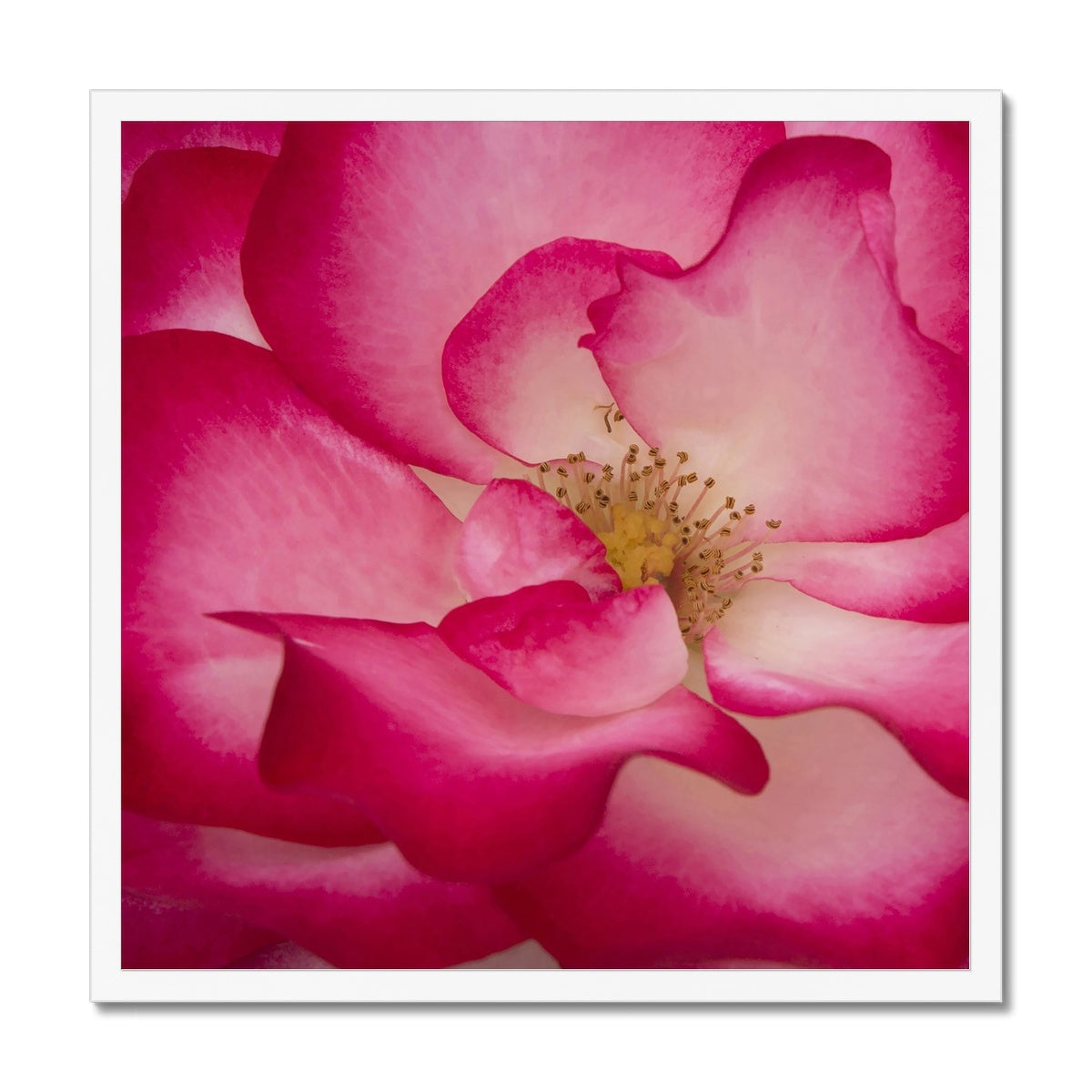 Rose Bliss Framed Print