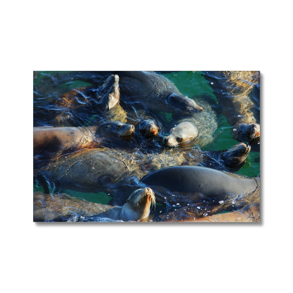 Seal Snuggles - California - Canvas