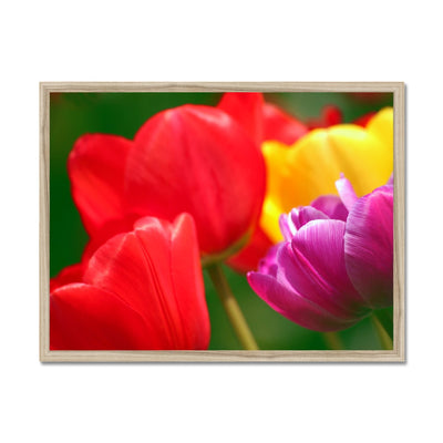 Joyous Tulips Framed Print | Feel Good Images