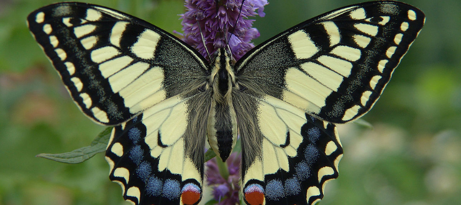 Papillon jaune Machaon