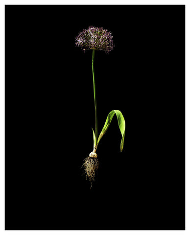 Allium Cristophii -  Star of Persia 3