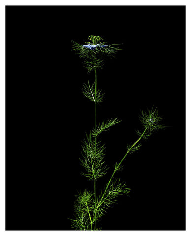 Nigella Damascena - Love-in-a-mist 2