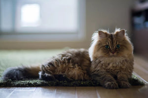 10 Most Popular Cat Breeds - Tophatter.shop