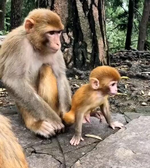 The little monkey wanted to run out to play, his mother grabbed her foot and refused to let her go