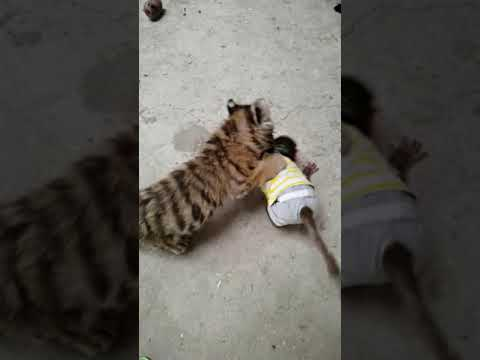 Little tiger fighting with monkey