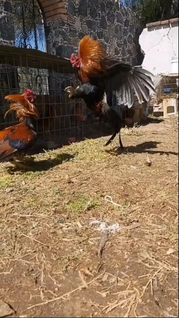 My two chickens fight and dance