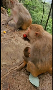 The monkey mother bites the fruit and feeds the monkey