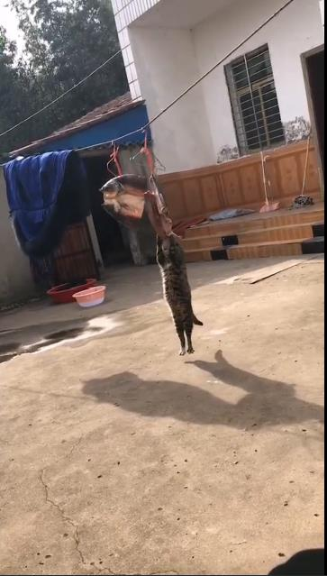 The cat who stole the fish was dropped