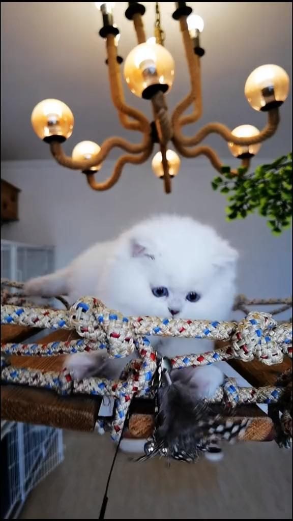 What kind of white cat do you guess?