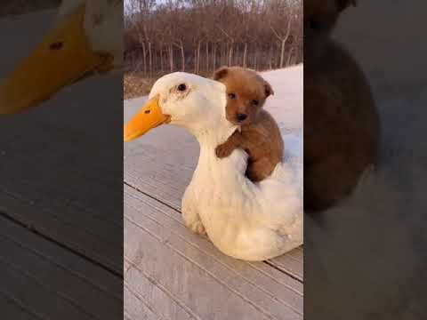 My dog and the white duck are very good friends