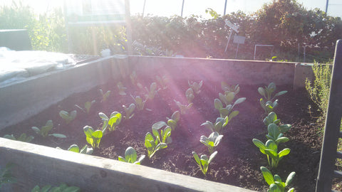 spinach growing in Detroit with sunrays over-shadow