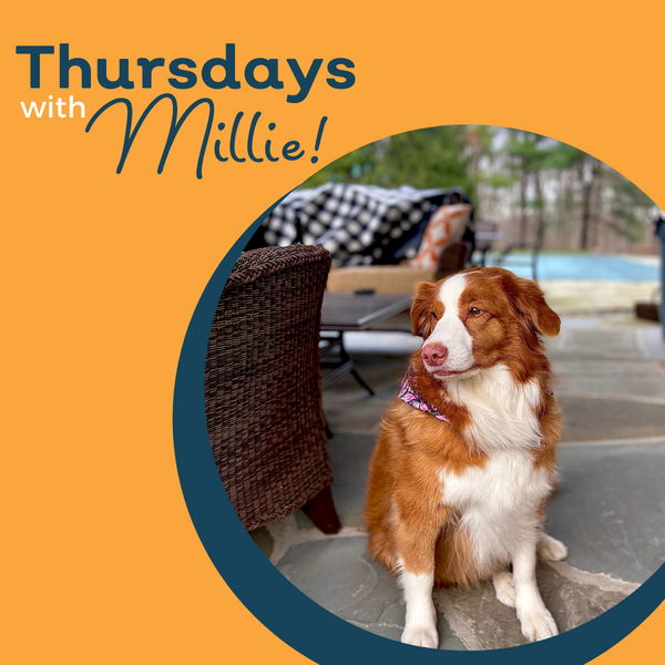 Thursdays with Millie: Tips for Your Dog if You Are Returning to The Office