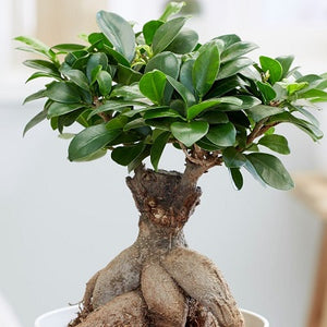 Learn how to maintain different types of bonsai