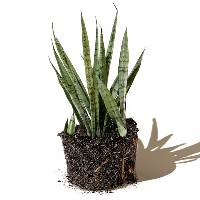 Chive.ca Sansevieria Trifasciata Grey Lady, Snake Plant 8 inch plant