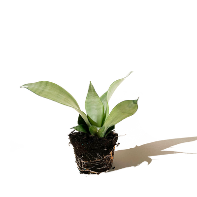 Chive.ca Sansevieria Trifasciata Moonshine. Snake Plant 4 inch plant