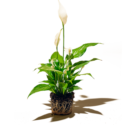 Chive.ca Spathiphyllum, Peace Lily 5 inch plant