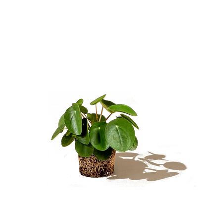Chive.ca Pilea Peperomioides, Chinese Money Plant 5 inch plant