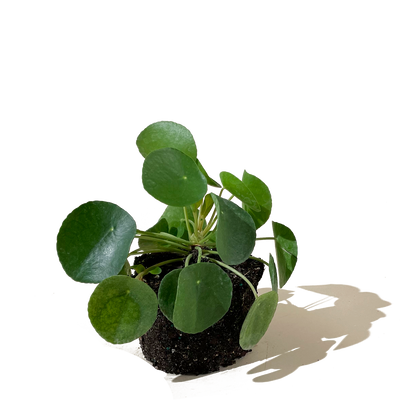 Chive.ca Pilea Peperomioides, Chinese Money Plant 6 inch plant