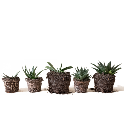 Chive.ca Gasteria, Ox Tongue 4-Plant Surprise Pack 3 inch and 4 inch plants