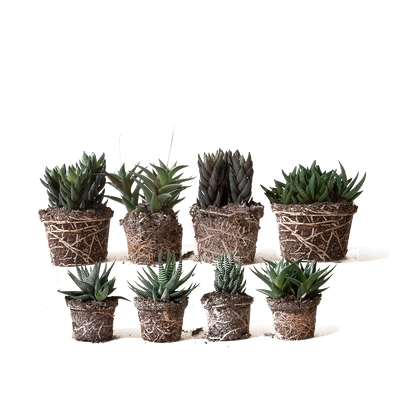Chive.ca Haworthia 4-Plant Surprise Pack, 3 inch and 4 inch plant