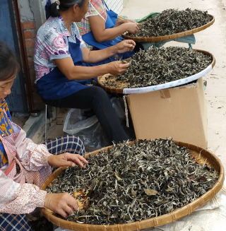 sorting tea by hand
