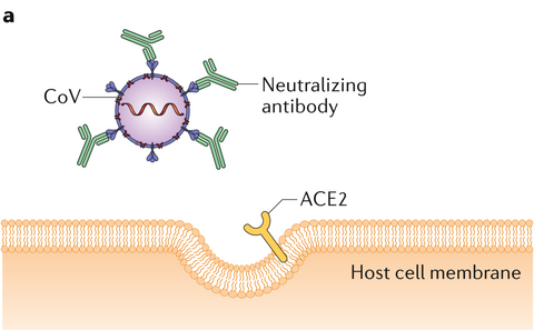 antibody- mediated viral neutralization