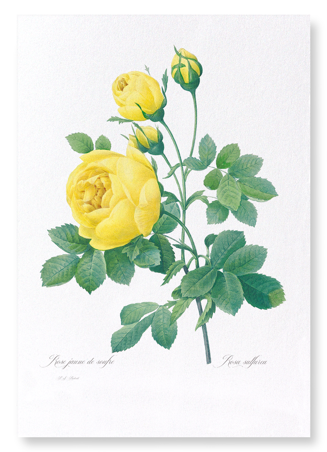 YELLOW ROSES: 2xPrints