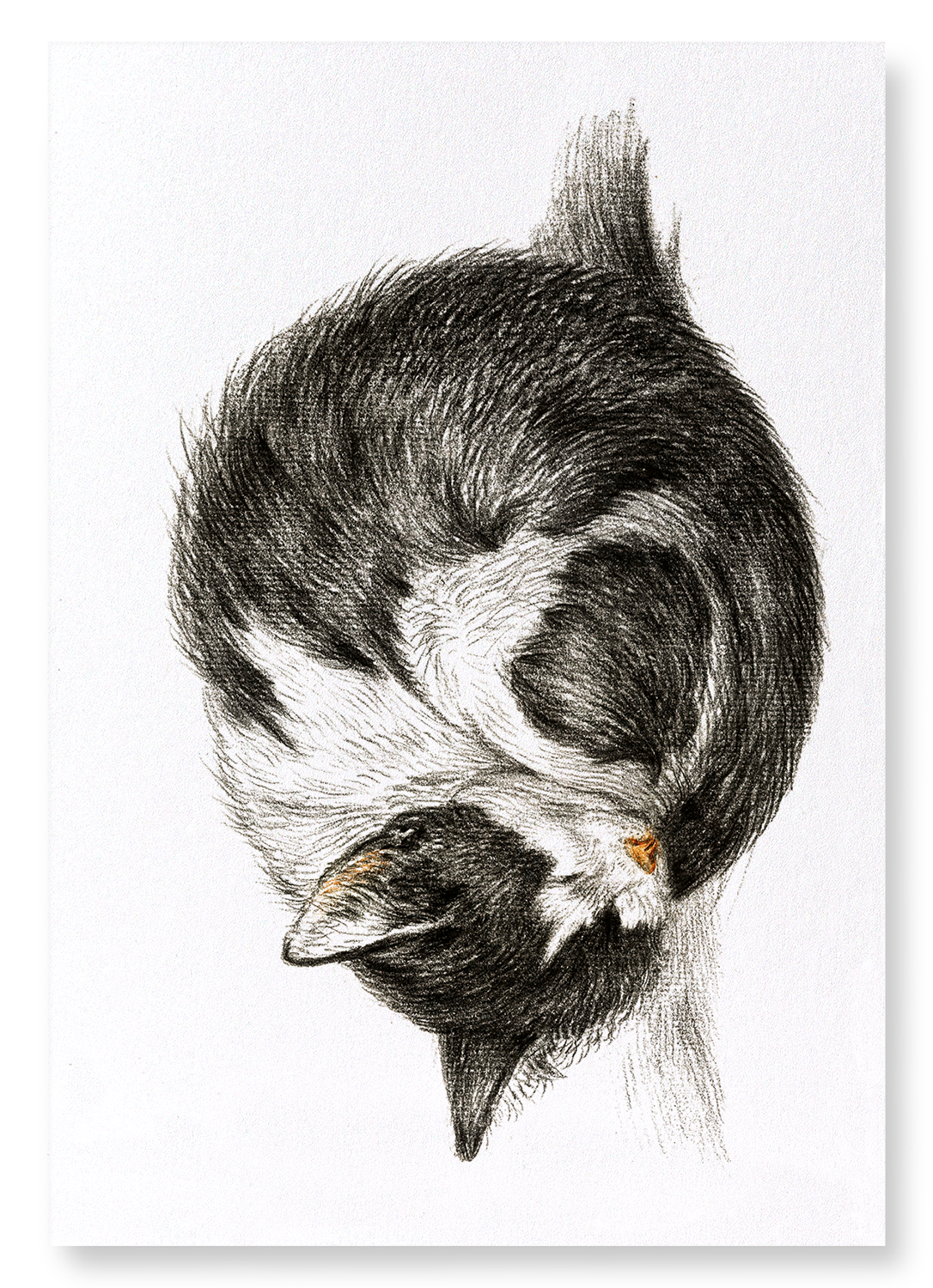 CURLED UP SLEEPING CAT (1825): 2xPrints