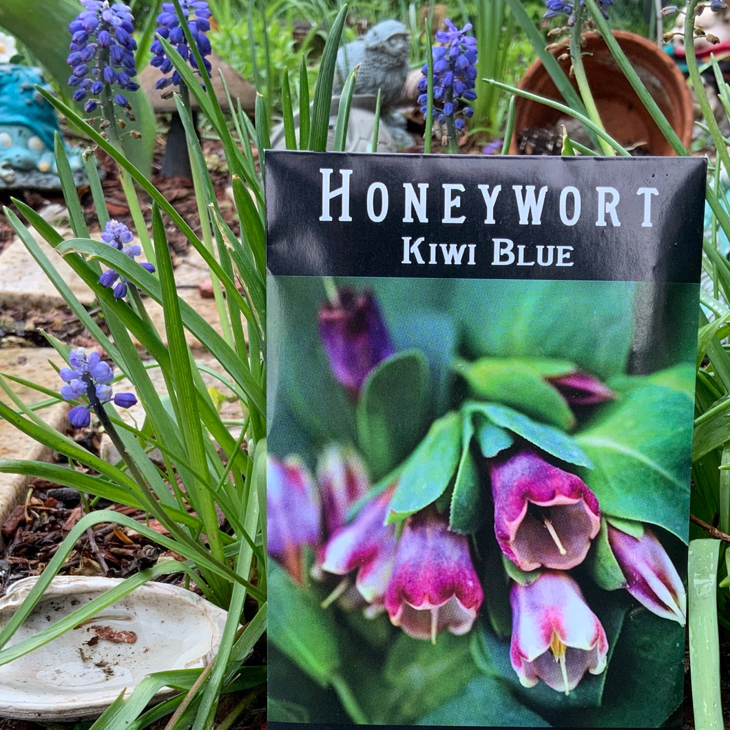 HONEYWORT - KIWI BLUE (CERINTHE MAJOR PURPURASCENS)  - SEEDS