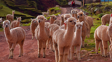Merino vs Alpaca: Comparing Natural Fibers