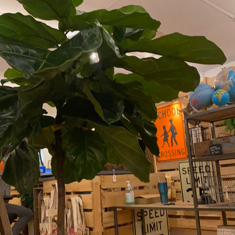 Fiddle Leaf Fig in Floor Basket