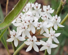 Load image into Gallery viewer, Aquatic Milkweed - Asclepias perennis (1 gal.)