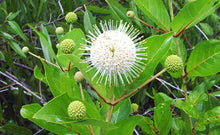 Load image into Gallery viewer, Buttonbush - Cephalanthus occidentalis