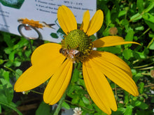 Load image into Gallery viewer, Cutleaf Coneflower - Rudbeckia laciniata  (1 gal)
