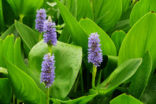 Load image into Gallery viewer, Pickerelweed - Pontederia cordata (1 gal)