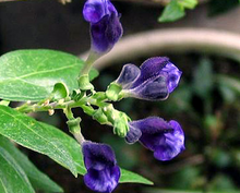 Load image into Gallery viewer, Skullcap - Scutellaria spp. - (1 gal)