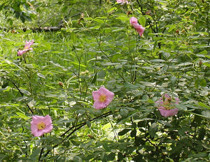 Swamp Rose - Rosa palustris (1 Gal)