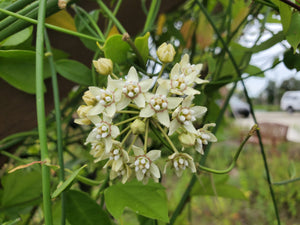 White Twinevine Milkweed - Funastrum clausum (formerly known as Sarcostemma clausum)