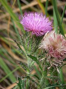 Purple Thistle - Cirsium horridulum (1 gal.)