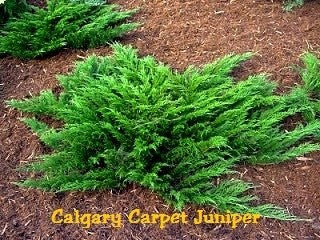 Juniper Calgary Carpet 3 gallon