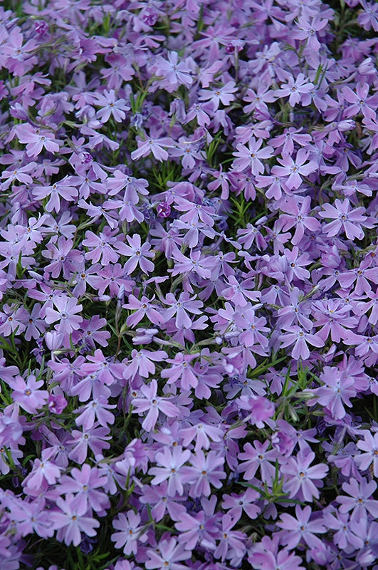 Phlox Emerald Blue quart