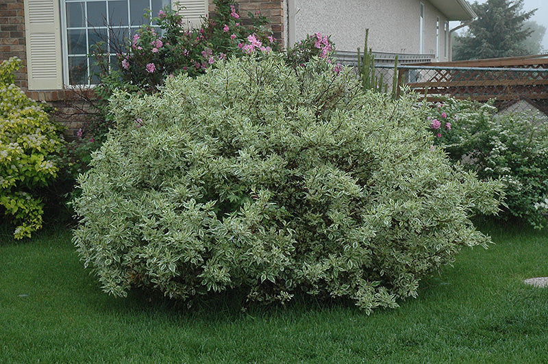 Dogwood Shrub Ivory Halo