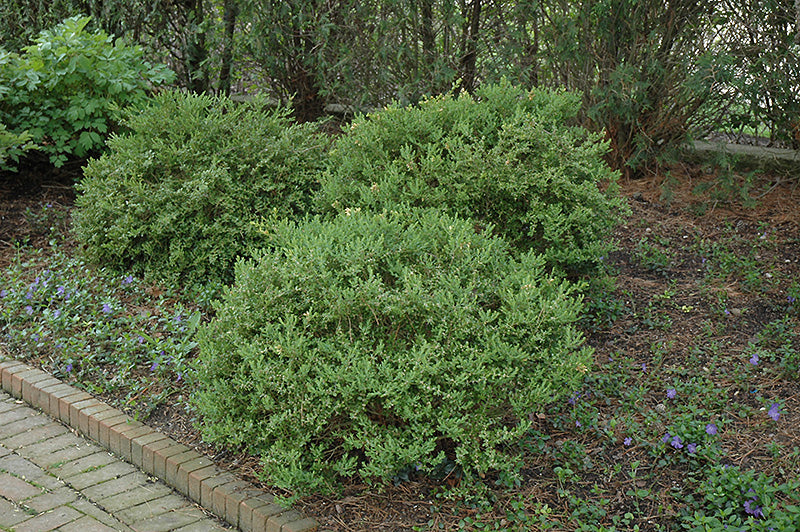 Boxwood Green Mountain