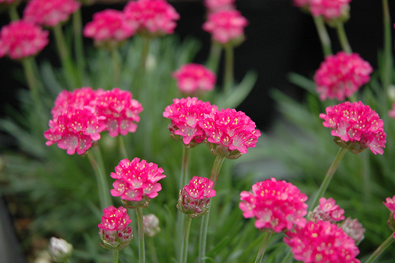 Thrift Armeria Bloodstone 1 gallon